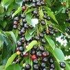 Черемуха-вишня. Гибрид черемухи и вишни по цене 150₽ - Рассада, саженцы, кустарники, деревья, фото 0