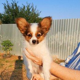 Собаки - Папийоны, щенок папийона, Рыжик, 0