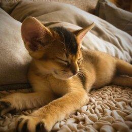Кошки - Продаются котята (кошечки) абиссинской породы с…, 0