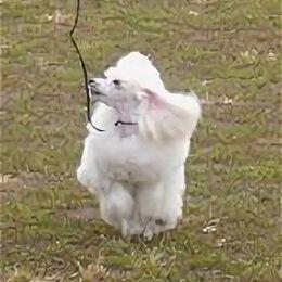 Собаки - Той пудель, 0