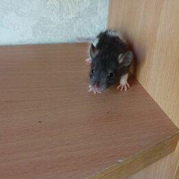 Грызуны - Молодая крыса , 0
