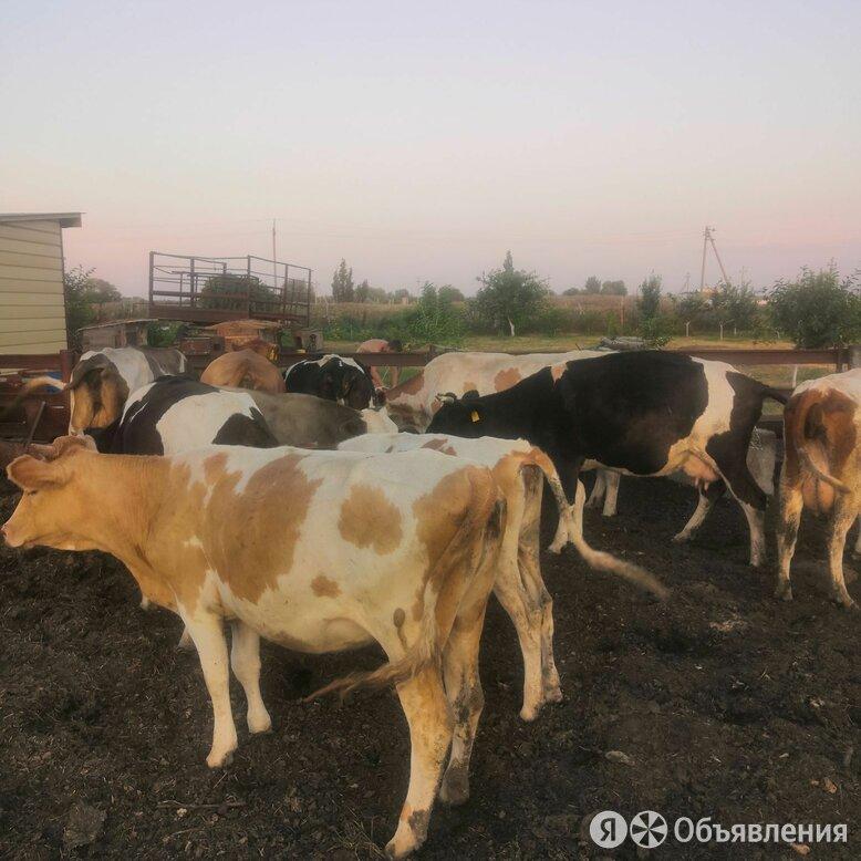 Коровы по цене 48000₽ - Сельскохозяйственные животные и птицы, фото 0