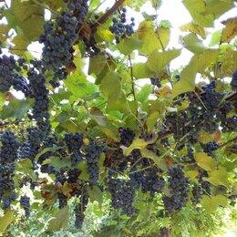 Ингредиенты для приготовления напитков - Виноград армянский винный, 0