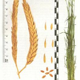 Семена - Продам семена озимой тритикале - сорт АГРАФ, 0