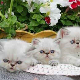 Кошки - Кошка экзот короткошерстная, 0
