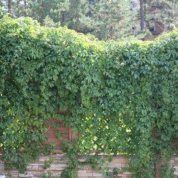 Рассада, саженцы, кустарники, деревья - Саженцы декоративного, девичьего винограда, 0