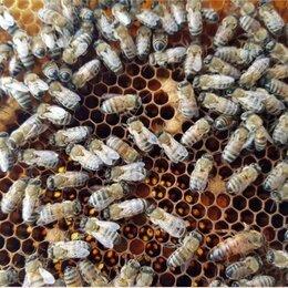 Другие - Пчеломатки плодные цена 500, 0