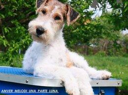Собаки - Фокстерьера щенок, 0