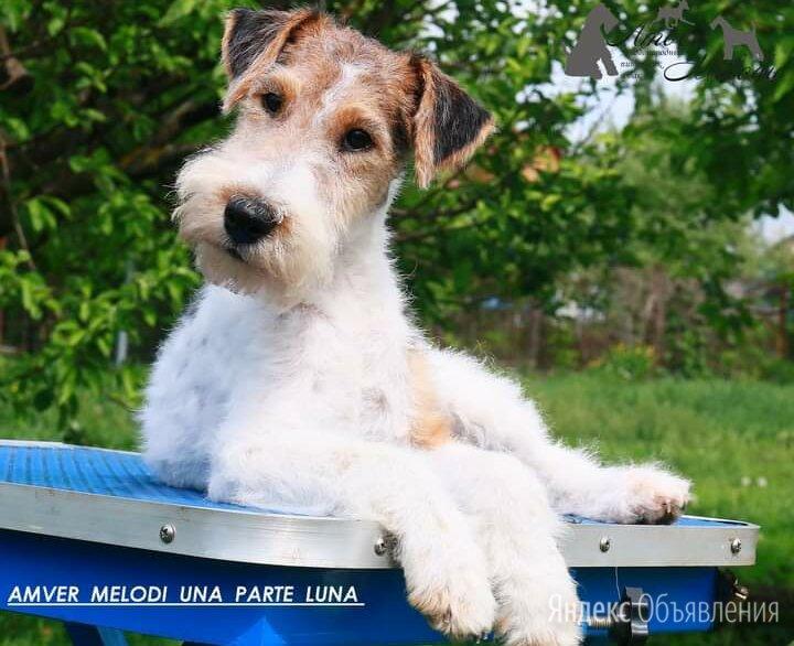 Фокстерьера щенок по цене 40000₽ - Собаки, фото 0