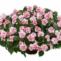 Комнатные растения - Бальзамин махровый, 0