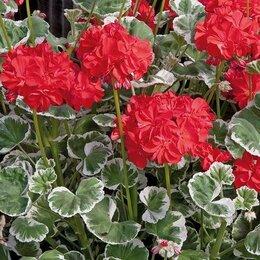 Комнатные растения - Пеларгония зональная toscana wilhelm langguth, 0
