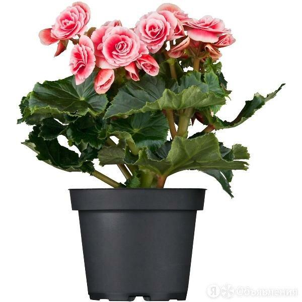 Бегония Элатиор Бориас по цене 935₽ - Комнатные растения, фото 0