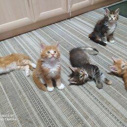 Кошки - Котенок мейн кун 2 месяца, 0
