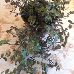 Комнатные растения - Продаю традесканцию мелколистную, 0