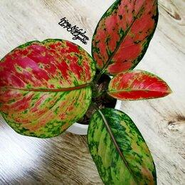 Комнатные растения - Аглаонема Maha Red Heng (домашняя) , 0