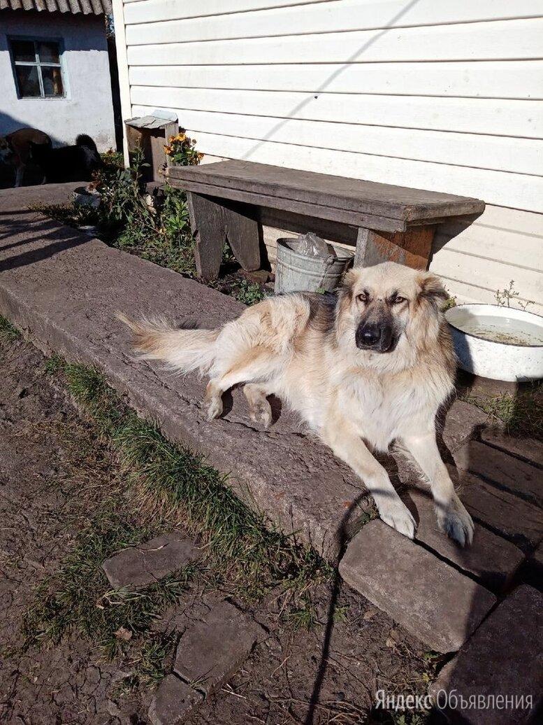 Собака Кобель овчарка по цене 300₽ - Собаки, фото 0