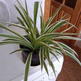 Комнатные растения - Продаю хлорофитум, 0