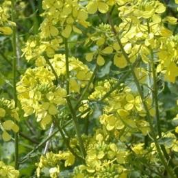 Удобрения - Пермагробизнес Горчица (сидераты), 0