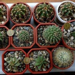 Комнатные растения - Излишки сеянцев кактусов, 0