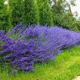 Рассада, саженцы, кустарники, деревья - Саженцы лаванды для ароматного бордюра. Живая изгородь., 0