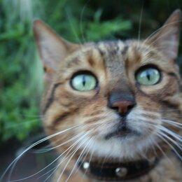 Кошки - Пара Бенгальская , 0