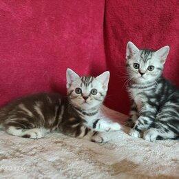 Кошки - Чистокровные шотландские котята, 0