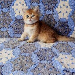 Кошки - Золотая британская шиншилла, 0