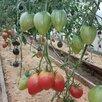 Семена по цене 3₽ - Семена, фото 1