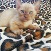 Котята по цене 15000₽ - Кошки, фото 0