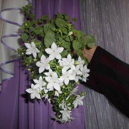 Комнатные растения - Кампанула жених и невеста, 0