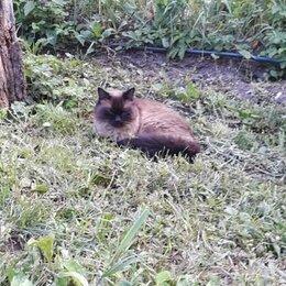 Кошки - Тайская кошка в добрые руки, 0