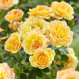 """Рассада, саженцы, кустарники, деревья - АФ """"Поиск"""" Роза почвопокровная Йеллоу Фэйри (Yellow Fairy), 0"""