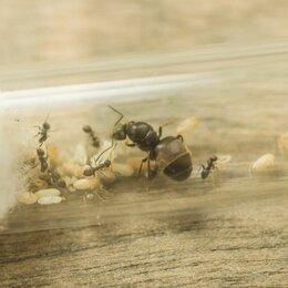 Другие - Садовый муравей lasius niger (5-20 рабочих), 0
