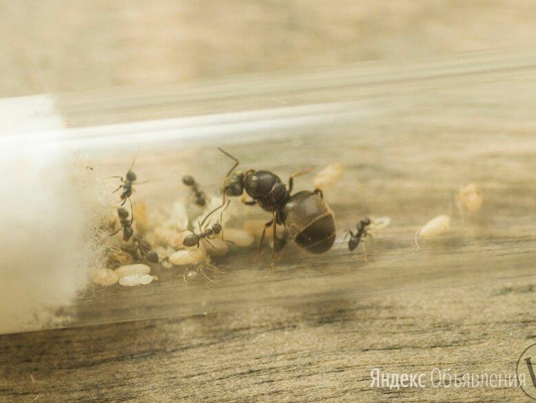 Садовый муравей lasius niger (5-20 рабочих) по цене 250₽ - Другие, фото 0