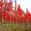 Клен остролистный по цене 18700₽ - Рассада, саженцы, кустарники, деревья, фото 3