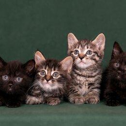 Кошки - Котята курильского бобтейла , 0