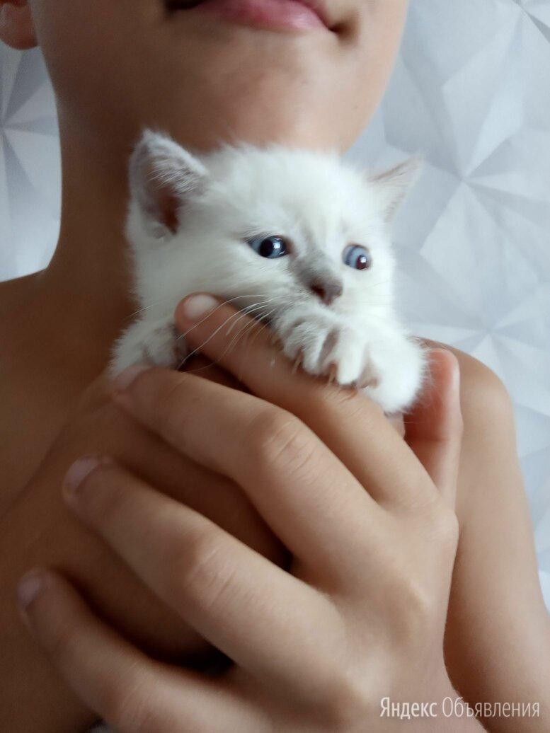 Шотландские котята по цене 2000₽ - Кошки, фото 0