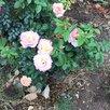 Роза ГЛОРИЯ ДЕЙ по цене 2390₽ - Рассада, саженцы, кустарники, деревья, фото 1