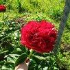 Пион Генри Бокстос по цене 1300₽ - Рассада, саженцы, кустарники, деревья, фото 2