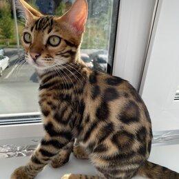 Кошки - Бенгальский котёнок , 0