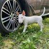 Миниатюрный бультерьер по цене 45000₽ - Собаки, фото 1