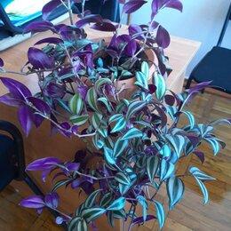 Комнатные растения - продаю цветок традесканцию, 0
