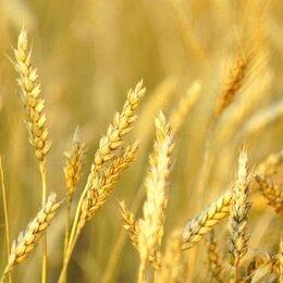 Семена - Продам семена озимой пшеницы - сорт МЕРА, 0