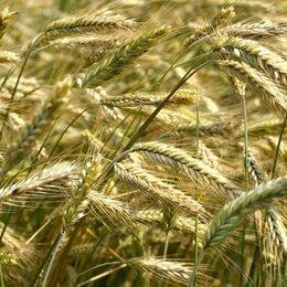 Семена - Продам семена озимая рожь - сорт МАРУСЕНЬКА , 0
