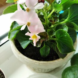 Комнатные растения - Бегония вечно цветущая, 0