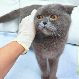 Кошки - Британская кошка в дар, 0