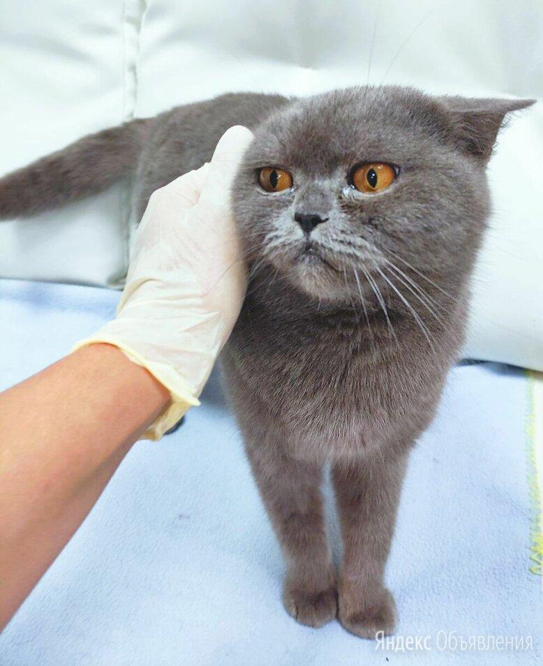 Британская кошка в дар по цене даром - Кошки, фото 0