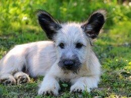 Собаки - Щенки Скай терьера, 0