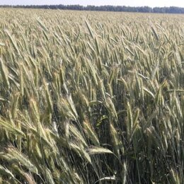 Семена -  Продам семена озимая рожь - сорт ЛСР 103, ЛСР 122, ЛСР 129, ЛСР 82, 0