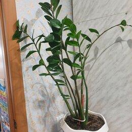 Комнатные растения - Замиокулькас , 0